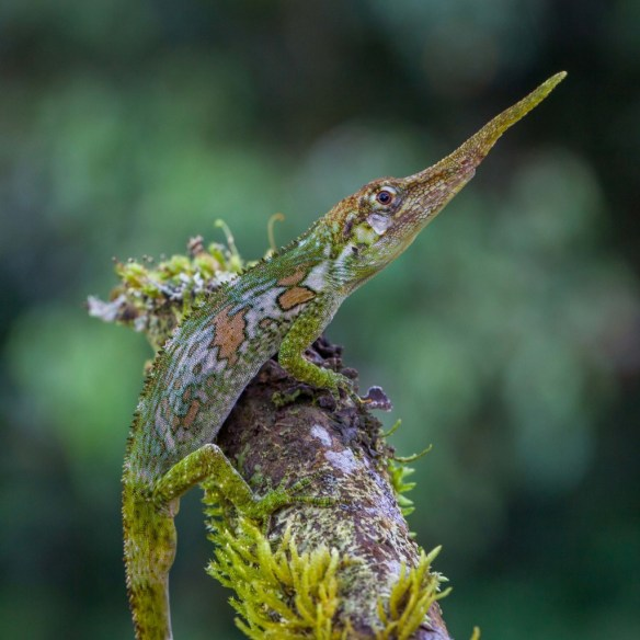 Figure 1. Long-nosed Anolis from the Luke Mahler lab.