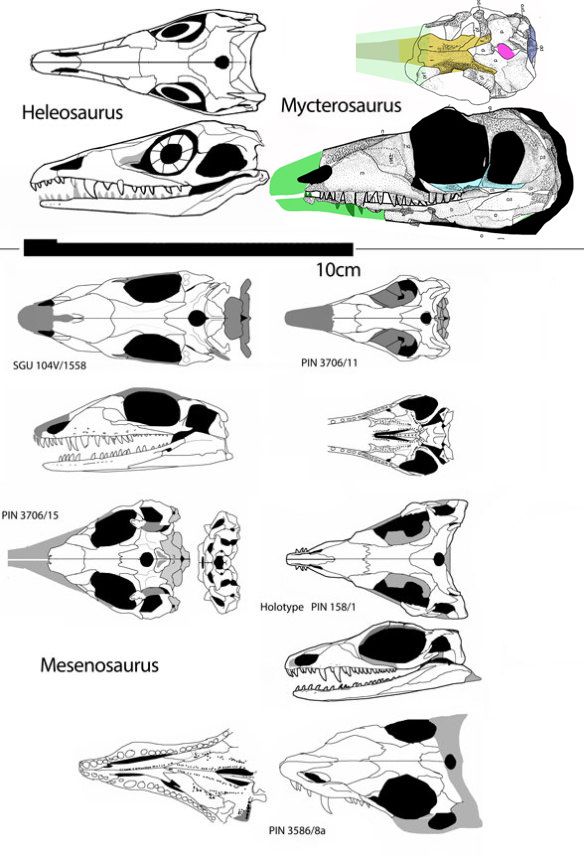 Figure 1. Mesenosaurus skulls compared to sisters Heleosaurus and Mycterosaurus. Note the greater angularity of the skull shapes along with the wider posterior skulls in derived taxa (toward the bottom). The SGU specimen needs better data on the squamosal, which is illustrated as missing its ventral/lateral portion here.