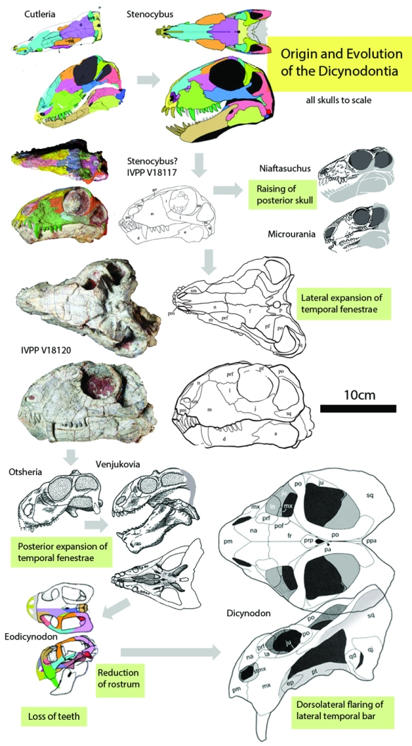 Figure 1. The origin of the Dicynodontia from basal therapsids. Here Cutleria, Stenocybus, two unnamed taxa, Otsheria, Venjukovia, Eodicynodo and Dicynodon are shown in order along with the major trait that each portrays.