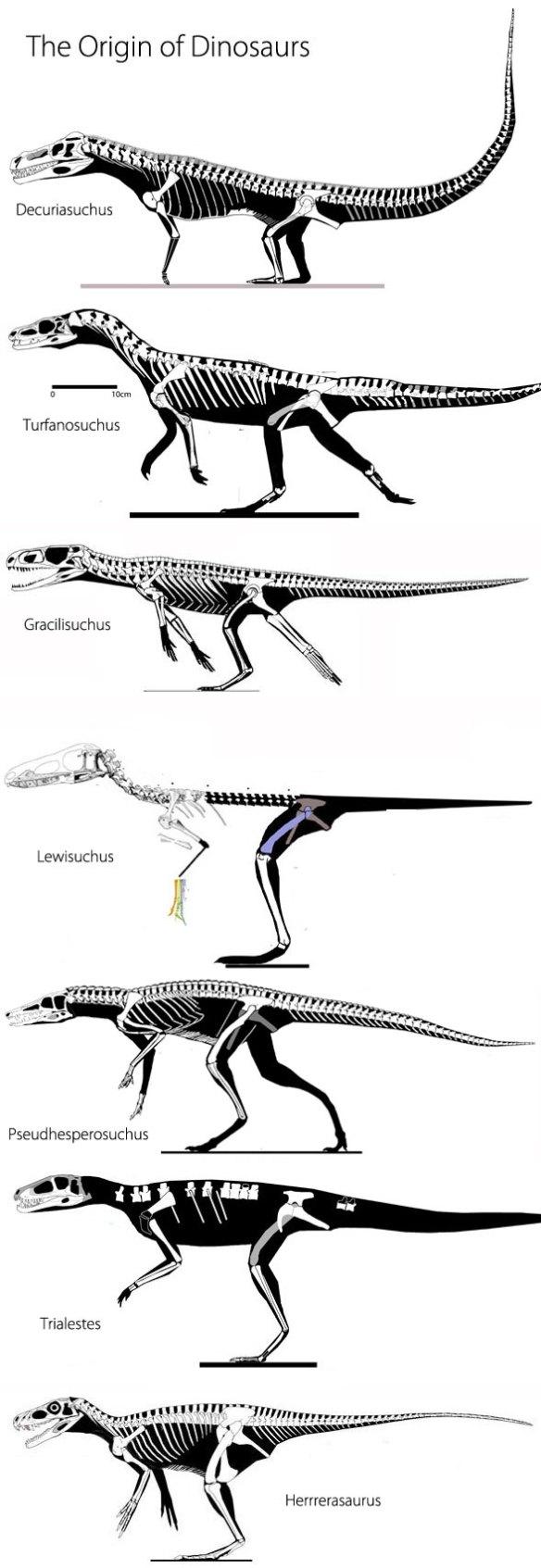 Figure 2. The origin of dinosaurs using constant length specimens. Here Decuriasuchus, Turfanosuchus, Gracilisuchus, Lewisuchus, Pseudhesperosuchus, Trialestes and Herrerasaurus not to scale.