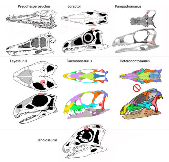 Figure 1. Click to enlarge. Sisters to Daemonosaurus, including Leyesaurus and Jeholosaurus. The postfrontal (in light red) is not fused in most of these taxa (Heterodontosaurus is the exception), contra current dinosaur paradigms. Note the resemblance of Daemonosaurus to the basal sauropodomorph, Leyesaurus. The increase in tooth size in Daemonosaurus was not derived from theropods, but was a unique character trait, shared, more or less with its sister, Jeholosaurus and to a lesser extent in Heterodontosaurus.