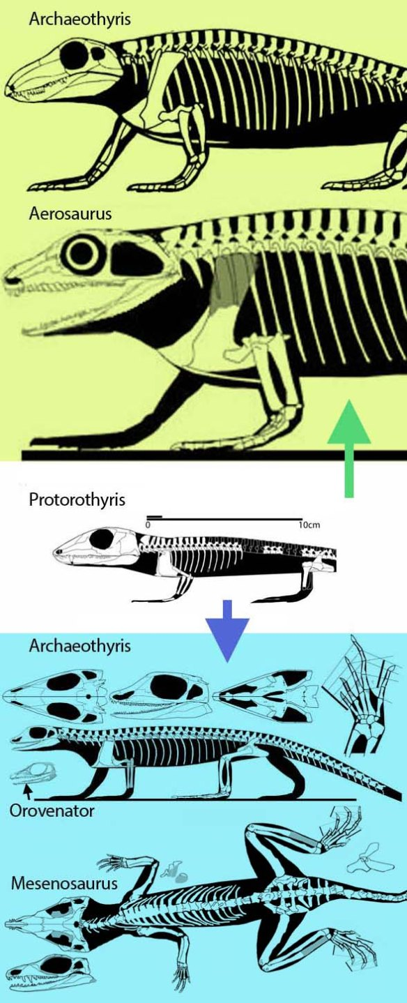Figure 1. Protorothyris, without a lateral temporal fenestra (in white) lies at the base of the Synapsida, large taxa like Aerosaurus and Archaeothyris  (in green) and the smaller Protodiapsida, like Archaeovenator, Mesenosaurus and Orovenator (in blue). All taxa are to scale. Yes, basal synapsids were bigger.