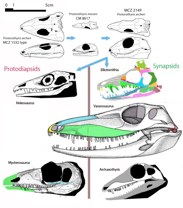 Figure 1. Reptile skulls at the protodiapsid/ synapsid split to scale with Protorothyris as the proximal outgroup. Note the elongation of the rostrum and the appearance of the the lateral temporal fenestra. The two clades were originally quite similar. Two versions of Mycterosaurus are shown. Click to enlarge.