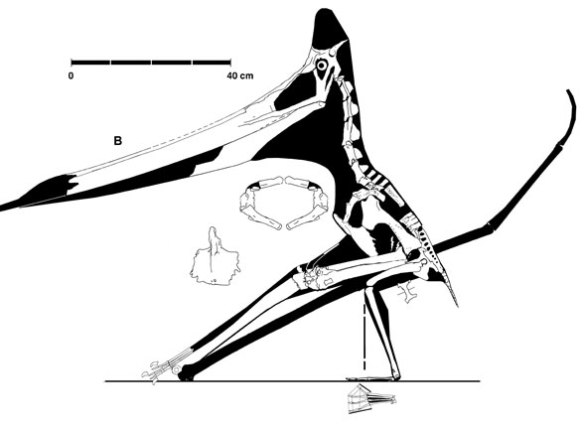 Figure 3. The UALVP specimen of Pteranodon. Note the lack of taper in the rostrum along with the small size of the orbit.