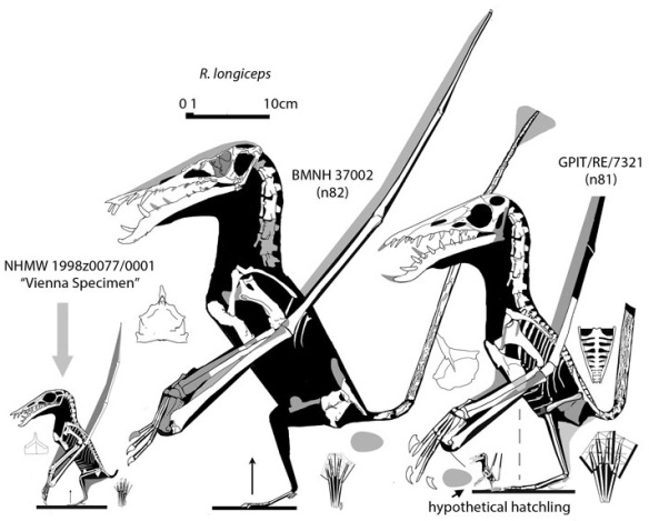 Figure 1. Two specimens attributed to Rhamphorhynchus longiceps along with a third specimen that nested with the larger of the two with identical scores, thus identifying it as a juvenile R. longiceps.