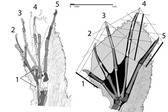 Figure 2. Sharovipteryx foot, in situ and reconstructed.