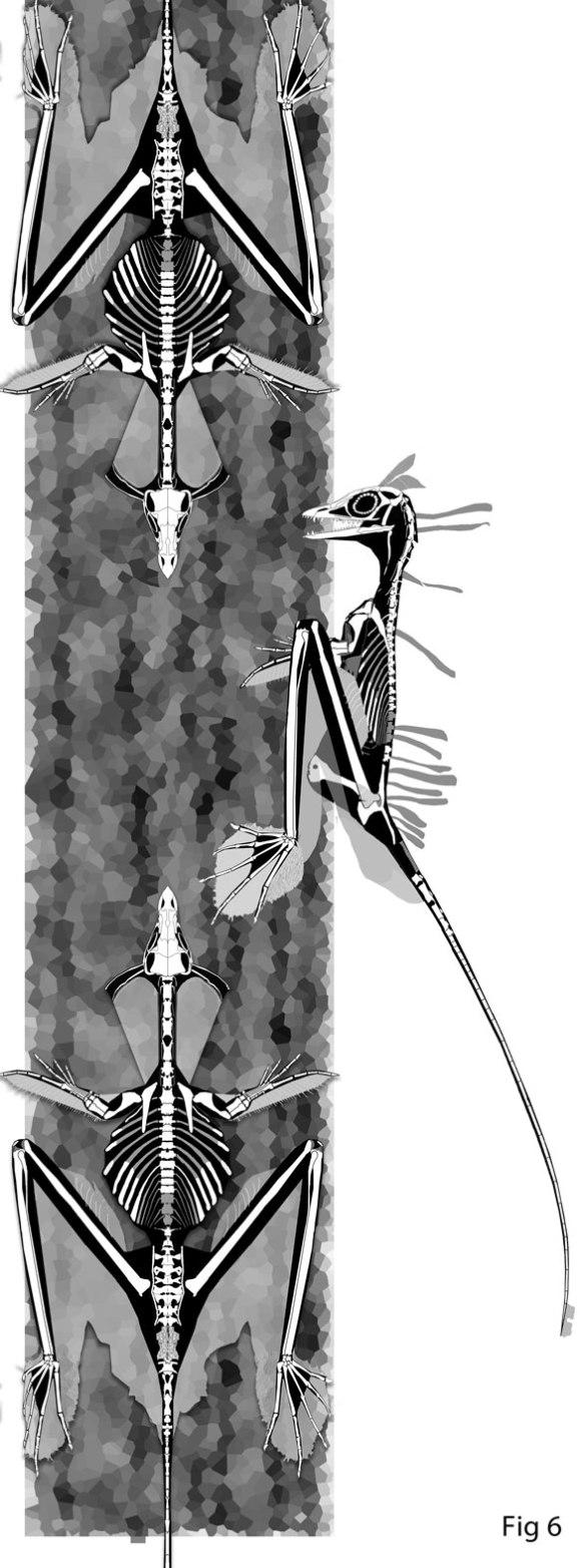Figure 1. Sharovipteryx in various perching attitudes.