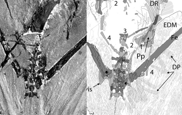 Figure 3. Sharovipteryx (Pp) prepubis possible location beneath the right fingers. The dorsal plumes (DP) are easier to see.