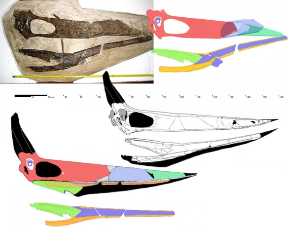 Figure 1. Tanking-Davis Pteranodon in situ and with parts traced out and restored. The rostrum indicates a probable shorter rostrum, but the mandible does not taper as quickly as would be expected for the relatively short rostrum in a conventional linear digression model. It is conceivable that the distal maxillary and mandibular beaks may have therefore taken a less conventional configuration in this specimen. Click to enlarge. Photos courtesy of A. M. Minotti.