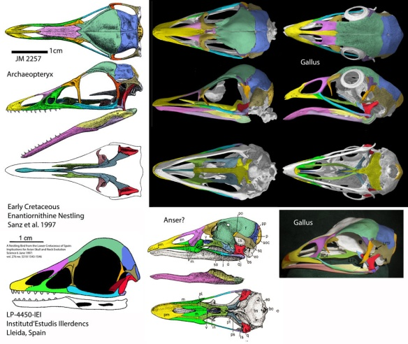 Figure 2. Bird skulls compared. Here are Archaeopteryx, Struthio (ostrich), Gallus (chicken) , Anser (goose) and an unnamed Early Cretaceous enantiornithine nestling as large as Archaeopteryx (Sanz et al. 1997). Archaeopteryx by Greg Paul used with permission. Click to enlarge.