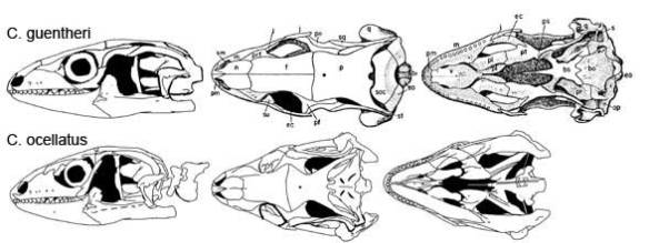 Figure x. Chalcides guentheri and C. occellatus, two skinks were morphology quite similar to that of Sirenoscincus.
