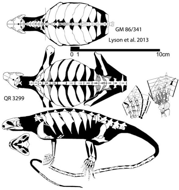 Fiigure 1. The turtle mimic Eunotosaurus from the Middle Permian was actually closer to Acleistorhinus.