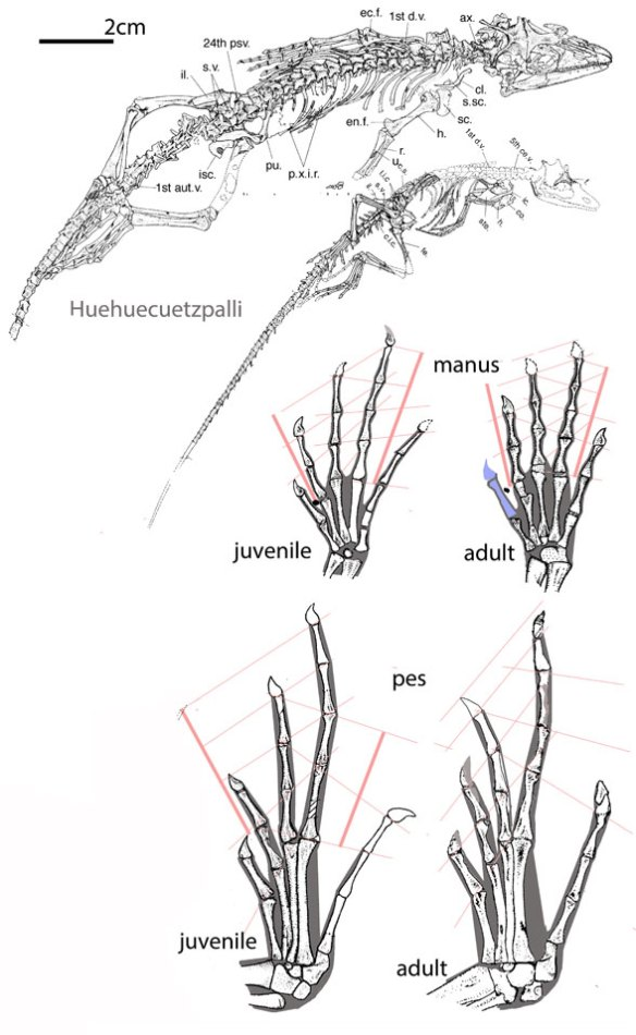 Figure 1. Two specimens of Huehuecuetzpalli were found, one adult and one juvenile. Here they are shown together to scale along with manus and pes comparisons scale to a common length for metacarpal 4 and metatarsal 4.