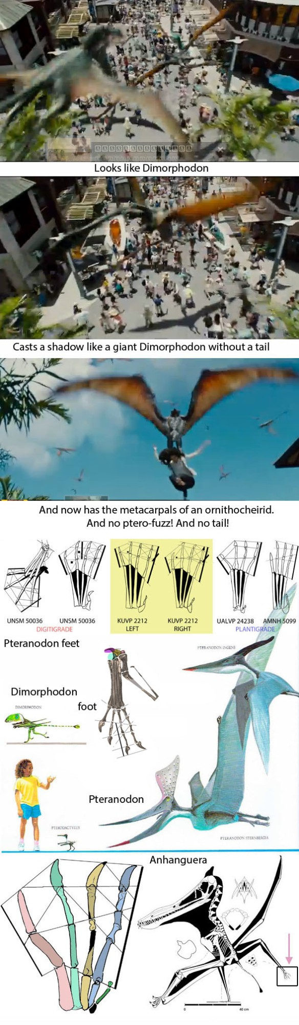 Figure 5. Jurassic Park 4's giant Dimorphodon(?) (probably weighing 36 lbs) picking up a tourist (probably weighing 120 pounds) in a tribute to Raquel Welch and Faye Wray who were taken aloft by Pteranodon.  Below the rather feeble feet of several Pteranodon specimens, none of which had trenchant claws and mighty toe tendon anchors. These feet, some flat-footed others not, were made for walking. The foot of Dimorphodon with trenchant claws, but look how small it is to scale! Below that the even more feeble feet of the ornithocheirid Anhanguera.