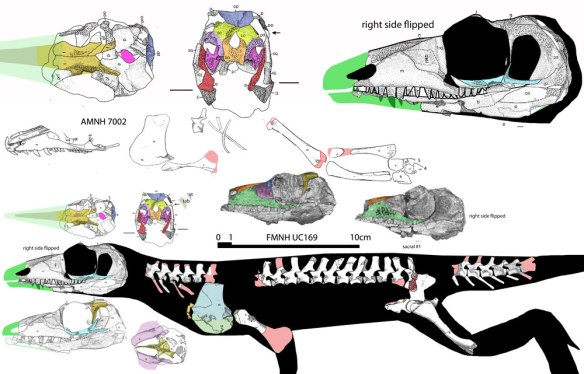 Figure 1.Mycterosaurus. Click to enlarge. This is a sister to the basalmost protodiapsid, and thus an ancestor of birds and crocs.