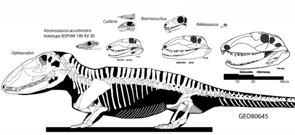 Figure 1. Varanosaurus, Ophiacodon, Cutleria, Biarmosuchus and Nikkasaurus. These are taxa at the base of the Therapsida. Ophiacodon did not cross into the Therapsida, but developed a larger size with a primitive morphology.