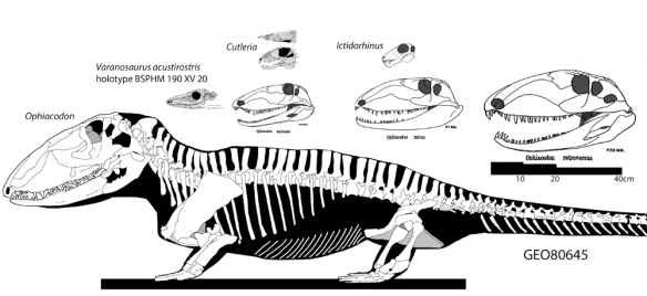 Figure 1. Varanosaurus, Ophiacodon, Cutleria and Ictidorhinus. These are taxa at the base of the Therapsida. Ophiacodon did not cross into the Therapsida, but developed a larger size with a primitive morphology. This new reconstruction of Ophiacodon is based on the Field Museum (Chicago) specimen. Click to enlarge.