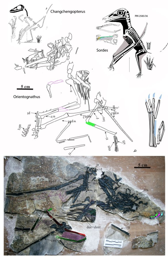 Figure 1. Orientognathus in situ, tracing moved to live position, comparisons to sisters Changchengopterus and Sordes.