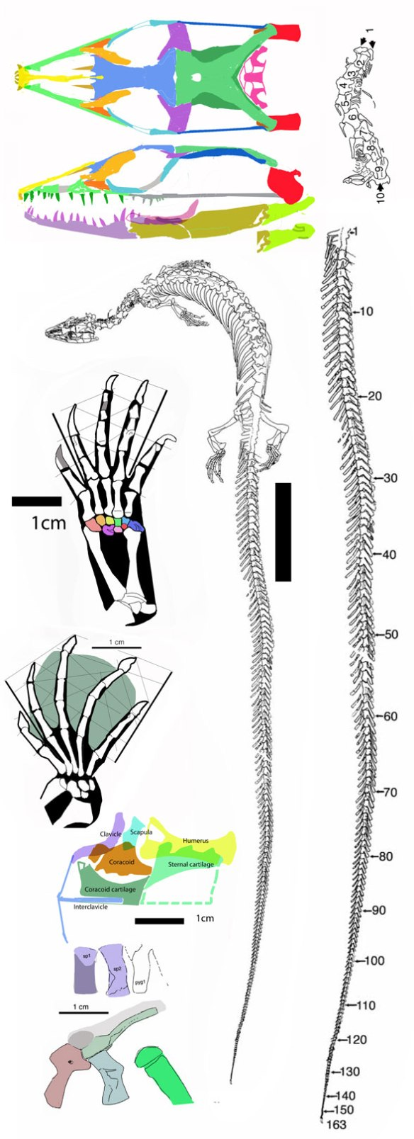 Figure 2. Pontosaurus and its parts. Data from Caldwell 2006. This is one of the last taxa we know in the snake lineage that still had a pectoral girdle.