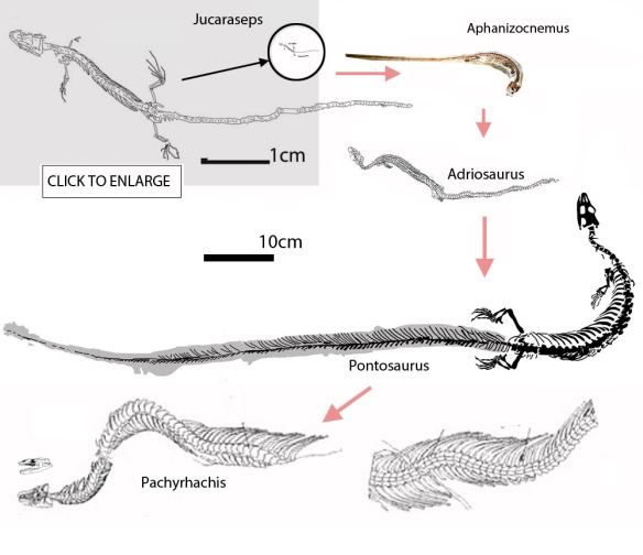 Figure 1. Pontosaurus in the evolution of snakes. Here tiny Jucaraseps leads this lineage, followed by Adriosaurus, Pontosaurus all leading to the basal snake, Pachyrhachis.