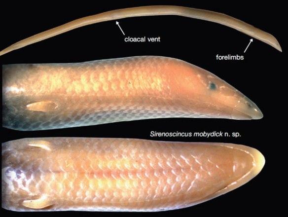 Figure 3. Sirenoscincus mobydick.