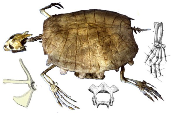 Figure 2. Trionyx, an African soft-shelled turtle with fossil relatives back to the Cretaceous nests with Odontochelys.