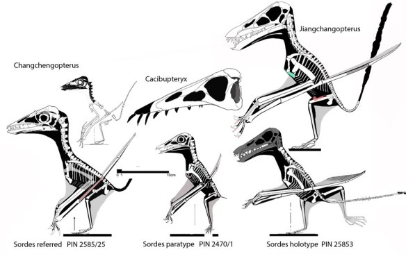 Figure 4. The three Sordes specimens to scale. They are close, but not identical. Shown above each is a closer sister taxon.
