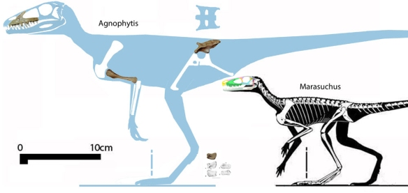 Figure 1. To scale compared to Marasuchus, Agnosphitys cromhallensis (Fraser et al. 2002) is known from a selection of uncrushed bones, all of which resemble those from Marasuchus, but slightly larger with a relatively longer rostrum and shorter arms. These two represent a separate and distinct lineage of theropods. Click to enlarge.