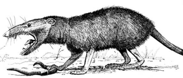 Figure 2. This is Amphitherium a basal mammal.