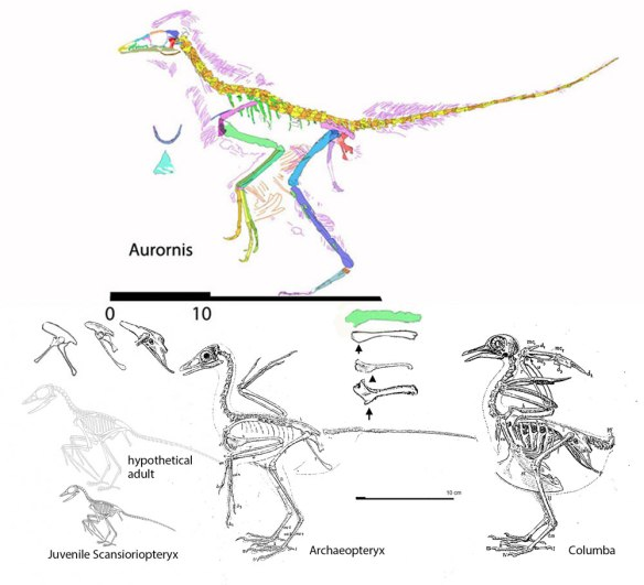 Figure 1. Scansioropteryx compared to Aurornis, Archaeopteryx and Columba, the pigeon. Note the shapes of the pelvis and the humerus.