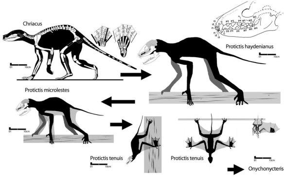 Figure 3. Hypothetical origin of bats from Chriacus and Protictis via miniaturization.