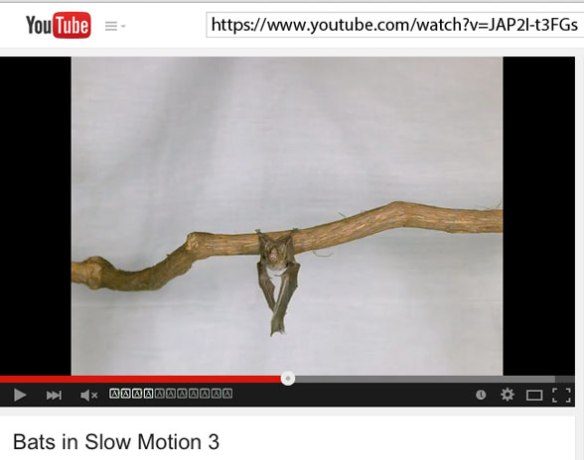 Figure 1. Is this the origin of bat flapping. From an inverted position, this bat rises to horizontal by flapping, still clinging to its perch until release and flight. Click to open video.