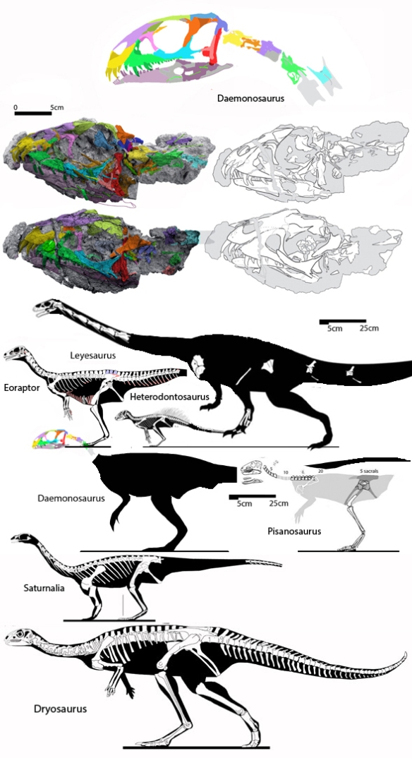 Figure 1. Daemonosaurus cervicals traced from in situ fossils and compared to sister taxa, Eoraptor, Leyesaurus, Heterodontosaurus and Pisanosaurus. Among these taxa, Daemonosaurus has the largest skull and most gracile cervicals. Click to enlarge.