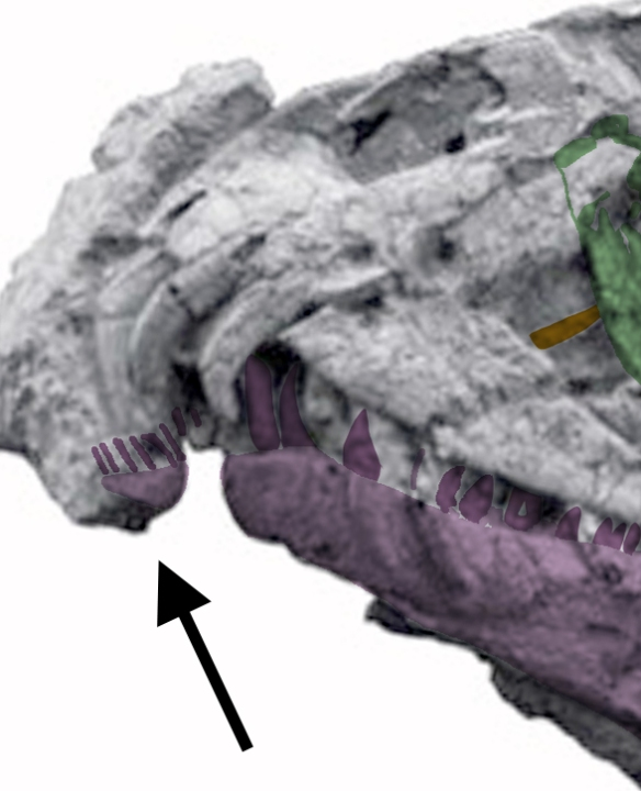 The proto-predentary extends the mandibles to their proper length.