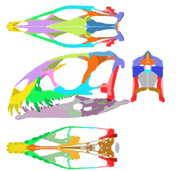 Figure 2 Daemonosaurus skull in 4 views. The new reconstruction is narrower than previously with a new descending pterygoid flange and very few other refinements. The jaw is shorter. The dentary fang(s) appear to slip into that pmx/mx notch as in Heterodontosaurus. A small comb-like dentary tip appears to be a precursor for the predentary found in ornithischians. If this is an artifact, please provide data. Gray areas are unknown.