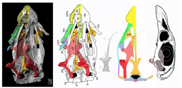 Figure 2. Effigiapalate in situ (left) and reconstructed by reassembling colored elements (at right).