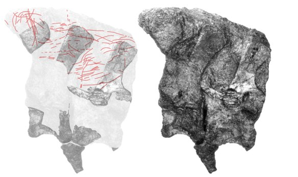 Figure 2. In situ anterior causals of Eoraptor. A tracing (left) appears to indicate fibers (f not cracks, chisel marks or plant debris).