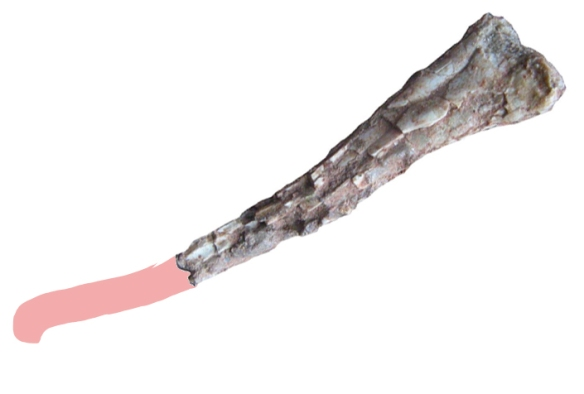 Figure 3. Close up of bone labeled distal mc3. This looks more like proximal mt3.