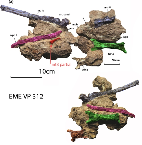 Figure 2. Eurazhdarcho with mc3 reidentified as mt3.