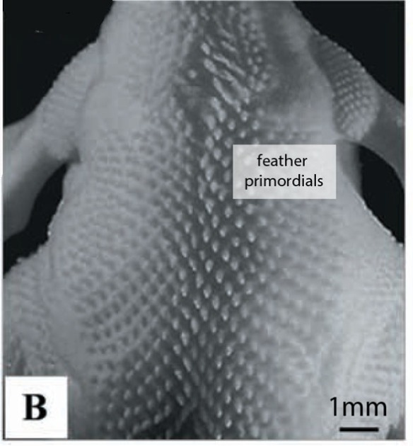 Figure 2. Primordial feathers on the back of a 10-day-old chick embryo.