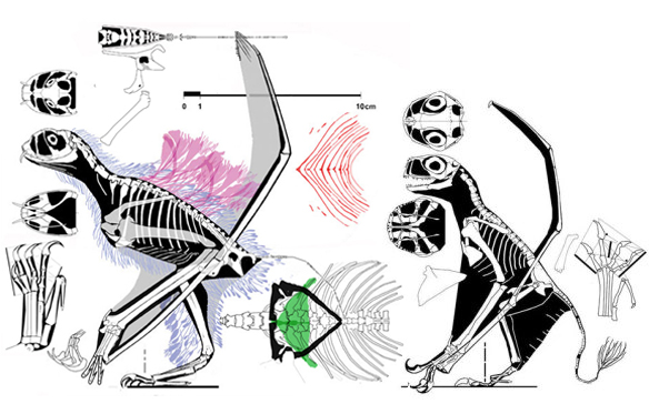 Figure 3. Click to enlarge. The Jeholopterus holotype (left) alongside the referred specimen (right). No doubt they were related, but were likely not conspecific. The one on the right was an insect eater. The one on the left was specialized for drinking dinosaur blood.
