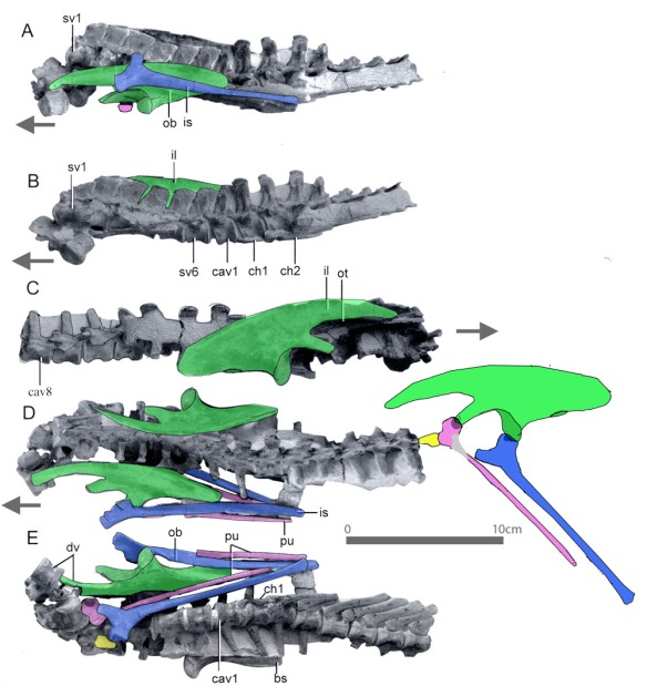 Figure 2. Pelvis elements of Jeholosaurus, a basal ornithischian, in situ and restored to in vivo positions. Note how gracile the pubis is. It is also lacking a prepubic process.