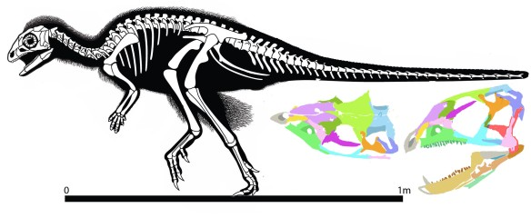 Figure 1. Kulindadromaeus, a sister to Heterodontosaurus with proto-feathers. Images from and traced from Godefroit et al. 2014. Since theropods and heterodontosaurs both had something like feathers, if they were the same kind of feathers, their last common ancestor had feathers. That last common ancestor was a herrerasaur or its proximal predecessor. Note the Godefroit et al. skull does not match their description but has a standard maxilla ascending process. See color overlays for correct ed interpretation.