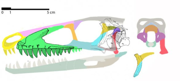 Figure 1. Marasuchus skull restored. My what big teeth you have! Based on the maxilla and occiput, this appears to be a long, low skull. Looks like a little basal theropod, like Tawa. Line drawing from Theropod Database in which M. Mortimer moved the 'quadrate' to the postorbital,based on Bonaparte 1975.