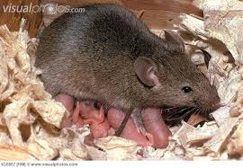 Figure 3. Naked mouse babies surround the furry mother mouse.