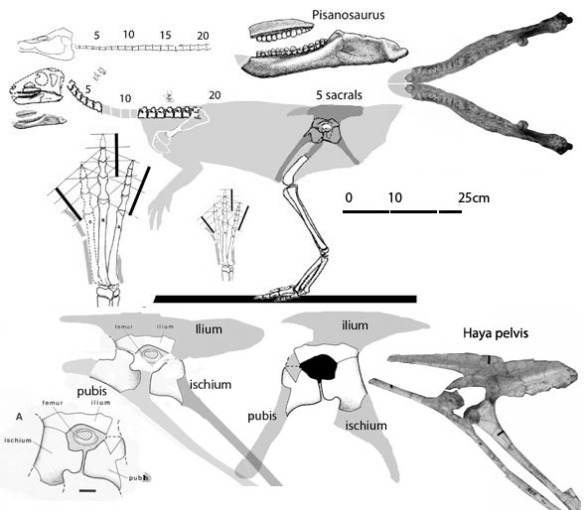 Figure 1. Pisanosaurus with new hypotheses on pelvis morphology after shifting in situ bones to in vivo positions.