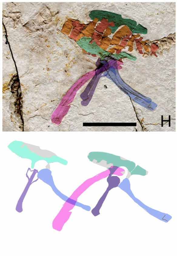 Figure 2. Pelvis of Scansioropteryx with DGS layering. Apparently the left isichium was slightly displaced, covering the acetabulum. When right and left elements are compared, the acetabulum appears to be open as in other theropod dinosaurs. Note the left pubis was flipped on its long axis durring taphonomy. The femur appears to have an theropod-like head and neck (ignore the overlapping matrix that gives it a notch).