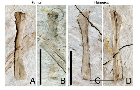 Figure x. Femur and humerus of a juvenile Scansioropteryx. The femoral head is there, just not very well developed. The humerus lacks a deltopectoral crest extending a quarter of the way down the humerus, but a sister taxon, Aurornis, also lacks this crest.
