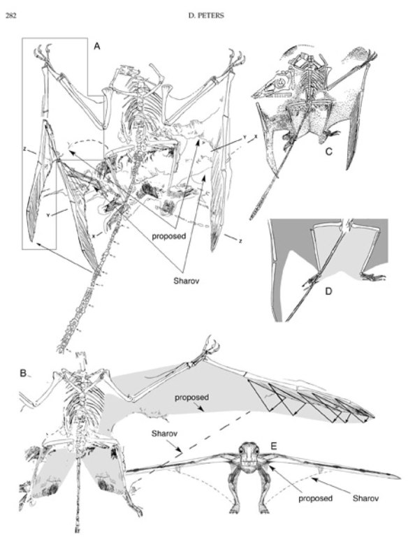 Figure 4. Sordes wing drift hypothesis from Peters (2002) which attempted to show that the wings and uropatagia of Sordes were more like those of other pterosaurs than the other way around. The very deep uropatagia are misinterpretations prior to the realization that the left brachiopatagium (main wing membrane) was displaced to the ankle area.