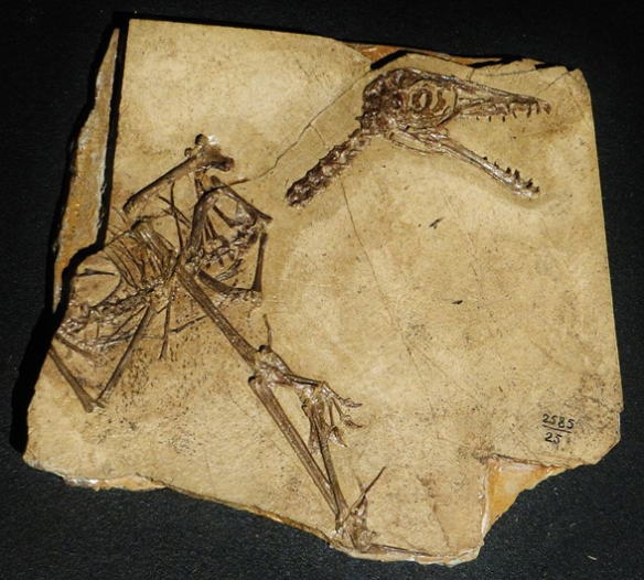 Figure 2. The PIN 2585-25 specimen of Sordes.